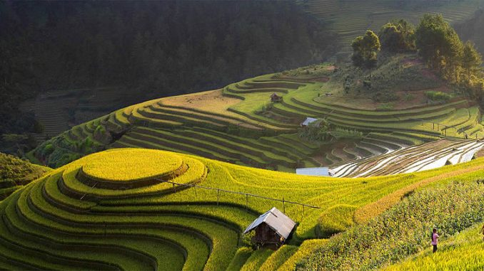 Champ de riz en Chine